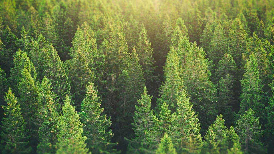 a coniferous forest by daylight